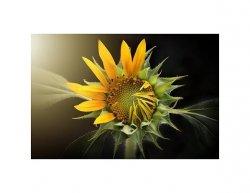 Tištěný obraz - Slunečnice